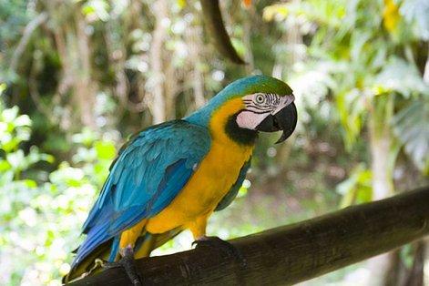 Перу, попугай