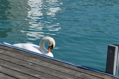 Austria swans