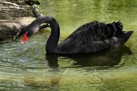 Black Swan Cygnus atratus at Hyde Park London