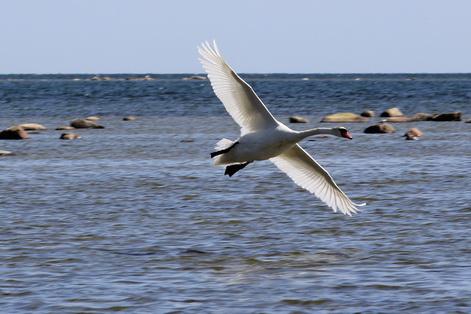 Estonia swans
