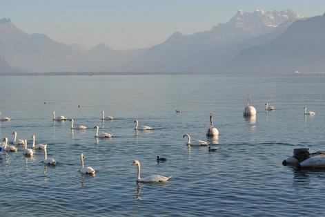 Geneva Lake swans