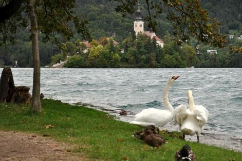 Slovenia swan