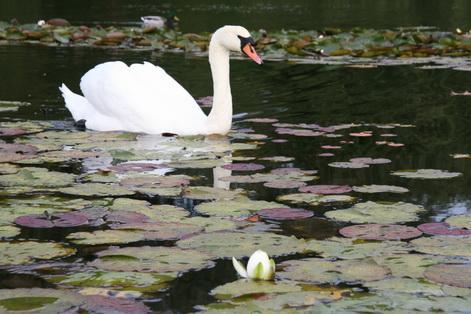 Sweden swans